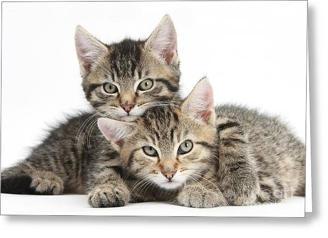 Animals Love Greeting Cards - Tabby Kittens Cuddling Greeting Card by Mark Taylor