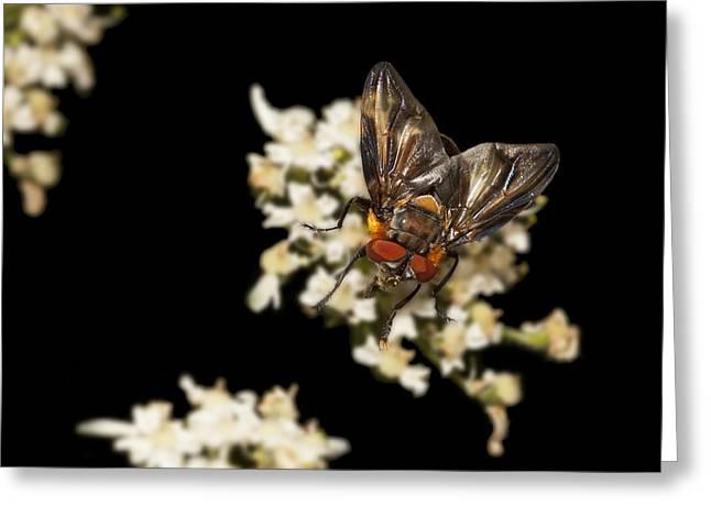 Decorativ Greeting Cards - Tachinid fly Phasia hemiptera Greeting Card by H a r a l d B e r t l i n g