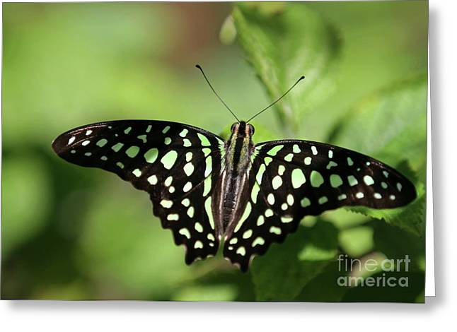 Butterfly In Flight Greeting Cards - Tailed Jay Butterfly Greeting Card by Sabrina L Ryan