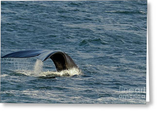 Right Whale Breach Greeting Cards - Tailfin of a Southern right whales Greeting Card by Sami Sarkis