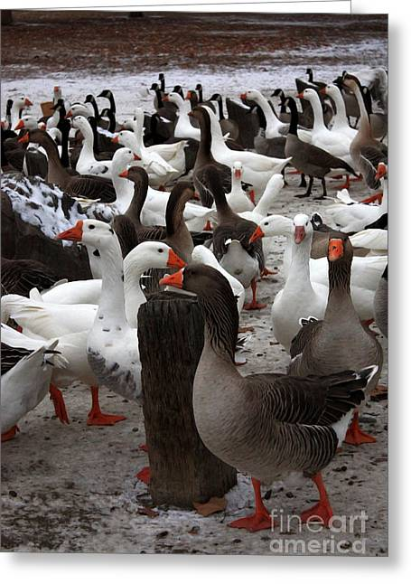 Geese Greeting Cards - Take a Gander Greeting Card by Carol Groenen
