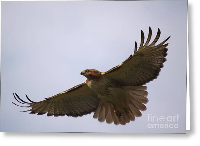 Bird Of Prey Mixed Media Greeting Cards - Taking Survey Greeting Card by Robert Pearson