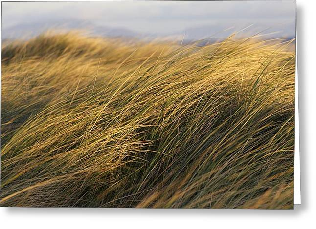 Breezy Greeting Cards - Tall Grass Blowing In The Wind Greeting Card by Peter McCabe