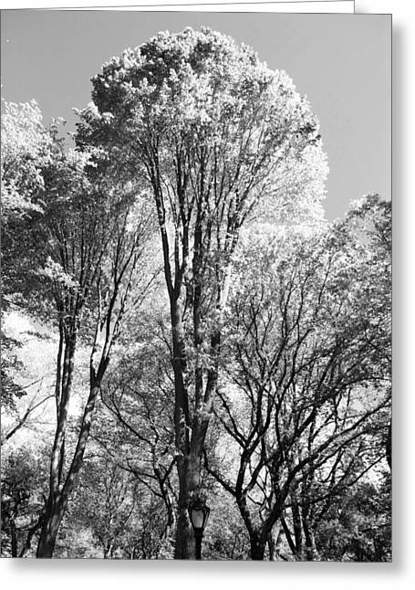 Natral Greeting Cards - TALL TREES in CENTRAL PARK in BLACK AND WHITE Greeting Card by Rob Hans