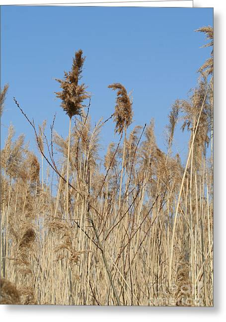 Morass Greeting Cards - Tall wild brown grass against a blue sky Greeting Card by Christopher Purcell