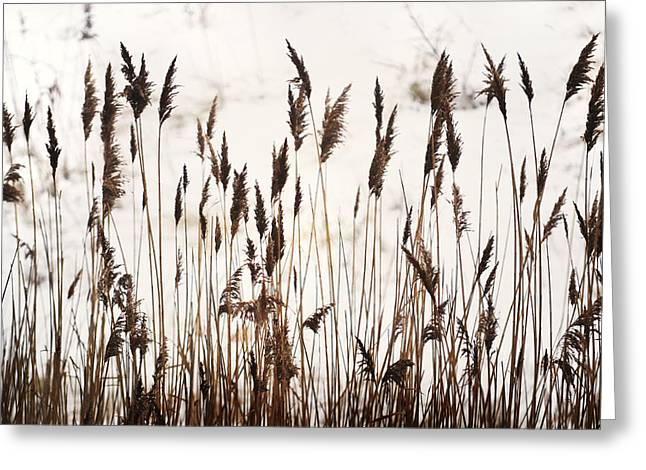 Pampas Grass Greeting Cards - Tall Winter Grass Greeting Card by Terence Davis