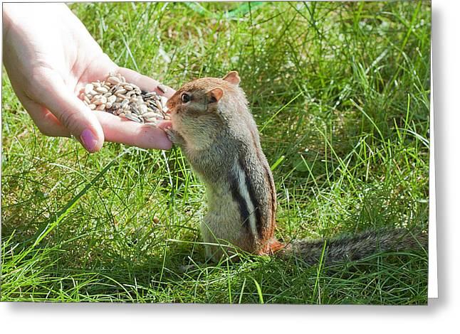Hand Fed Greeting Cards - Tame Chipmunk Greeting Card by Larry Landolfi