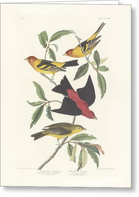 1851 Greeting Cards - Tanagers Greeting Card by John James Audubon