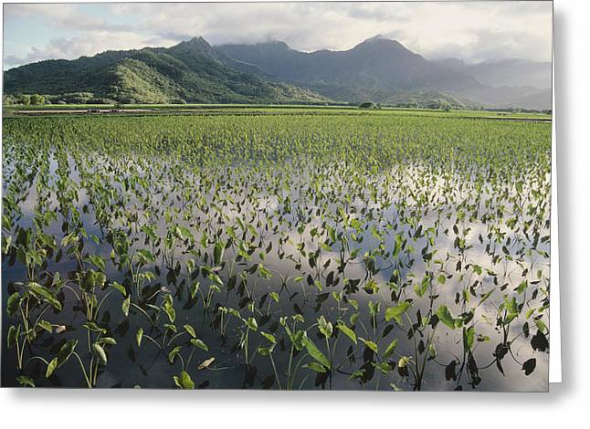 Elephant Ear Plant Greeting Cards - Taro Crops, Hawaii Greeting Card by G. Brad Lewis