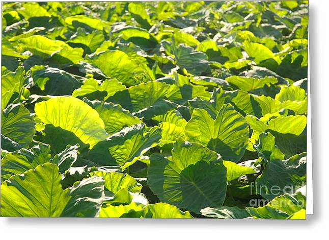 Elephant Ear Plant Greeting Cards - Taro plantation Greeting Card by Gaspar Avila