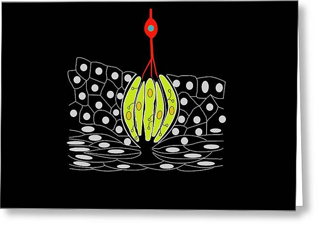 Bipolar Greeting Cards - Taste Bud Anatomy, Artwork Greeting Card by Francis Leroy, Biocosmos