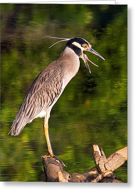 Hunting Bird Greeting Cards - Heron Tossing Down a Tasty Tidbit Greeting Card by Jean Noren