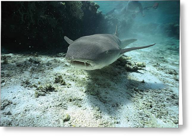 Sharks Greeting Cards - Tawny Nurse Shark Nebrius Ferrugineus Greeting Card by Mike Parry