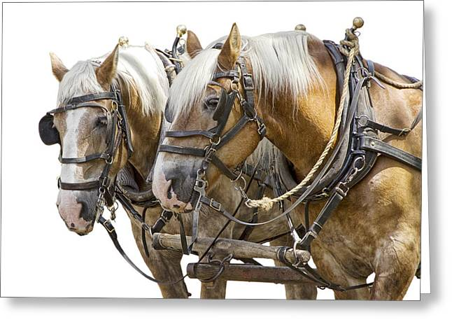 Hooved Mammal Greeting Cards - Team of Working Horses against a white background Greeting Card by Randall Nyhof
