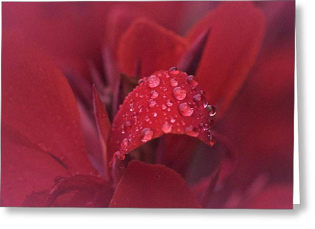 Canna Photographs Greeting Cards - Tears of the Canna No. 2 Greeting Card by Richard Cummings