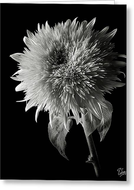 Flower Photos Greeting Cards - Teddy Sunflower in Black and White Greeting Card by Endre Balogh