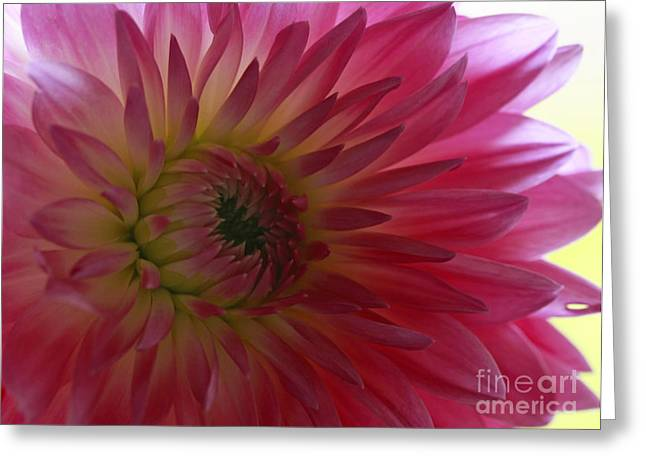 Shelley Myke Greeting Cards - Tender Moments   Soft Pink Dahlia Greeting Card by Inspired Nature Photography By Shelley Myke