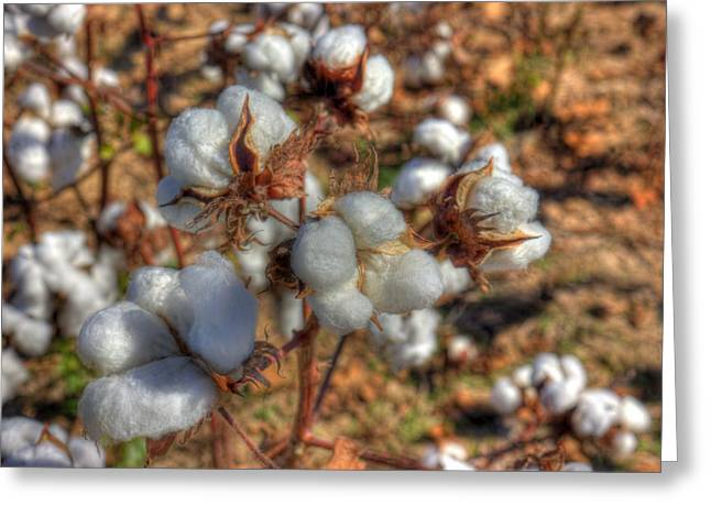 Best Sellers -  - Textile Photographs Greeting Cards - Tennessee Cotton Bolls Greeting Card by Barry Jones