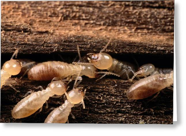 Termites Greeting Card by George Grall
