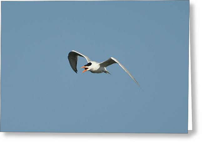 Tern Photographs Greeting Cards - Tern Flight 02 Greeting Card by Al Powell Photography USA