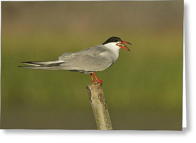 Seabirds Mixed Media Greeting Cards - Tern Greeting Card by Ole Martin Olsen