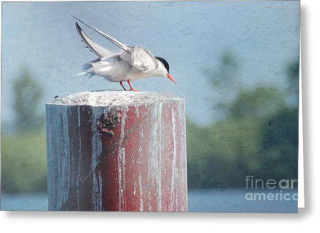 Tern Mixed Media Greeting Cards - Tern Ready to Fly Greeting Card by Elaine Manley