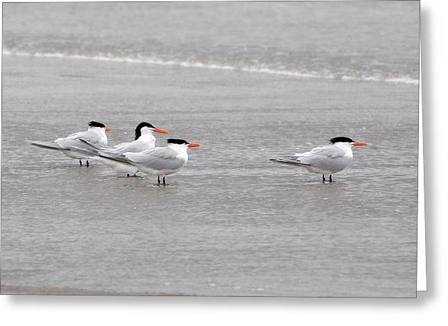 Tern Photographs Greeting Cards - Terns Wading Greeting Card by Al Powell Photography USA
