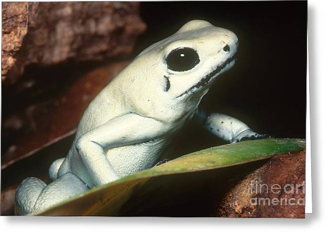 Terrible Greeting Cards - Terrible Poison Frog Greeting Card by Dante Fenolio