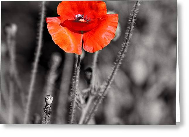 Texas Hot Poppy with Black and White Greeting Card by Linda Phelps