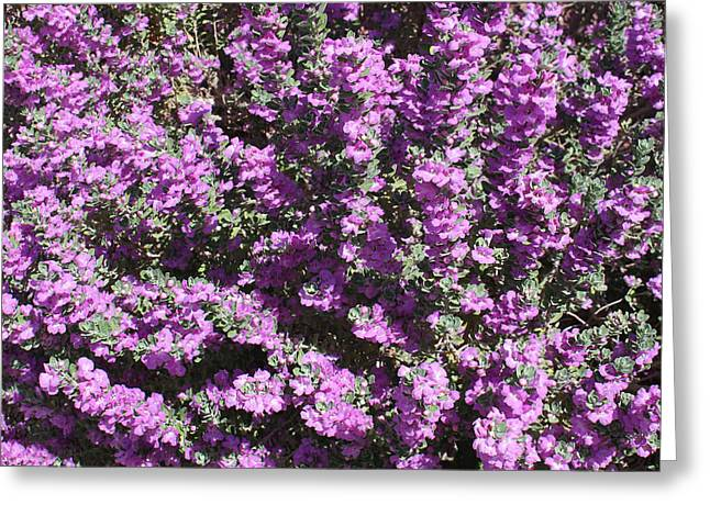 Art By Carl Deaville Greeting Cards - Texas  Sage  In  Bloom  In  Las  Vegas Greeting Card by Carl Deaville