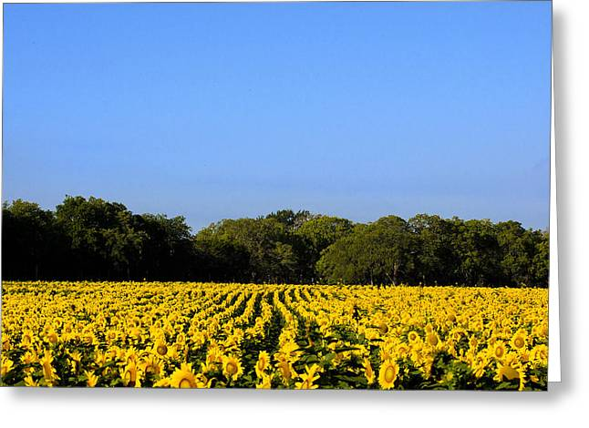 The Hills Greeting Cards - Texas Sunflower Field Greeting Card by Paul Huchton