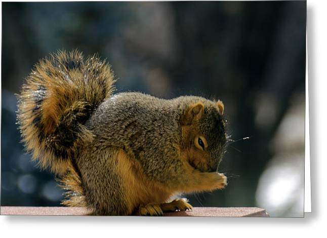 Squirrel Greeting Cards - Thank You for the Nuts Greeting Card by LeeAnn McLaneGoetz McLaneGoetzStudioLLCcom