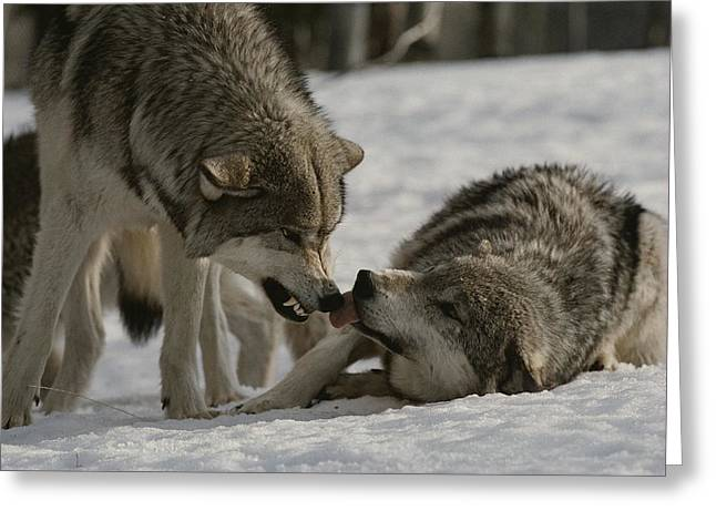 Aggression And Competition Greeting Cards - The Alpha Male Gray Wolf, Canis Lupus Greeting Card by Jim And Jamie Dutcher