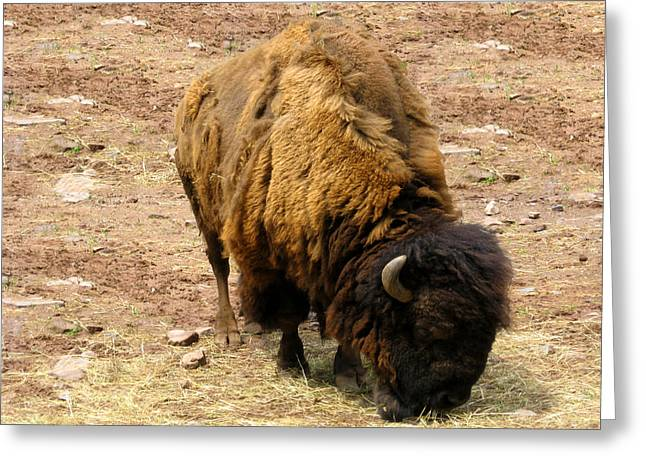 The American Buffalo Greeting Card by Bill Cannon