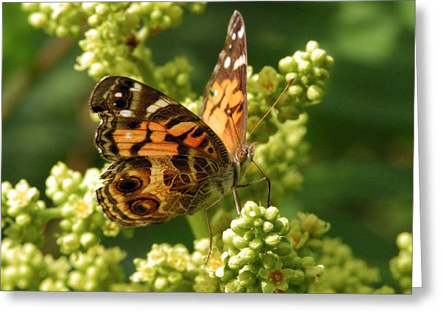 Painted Lady Butterflies Greeting Cards - The American Painted Lady Butterfly Greeting Card by Darlyne A. Murawski