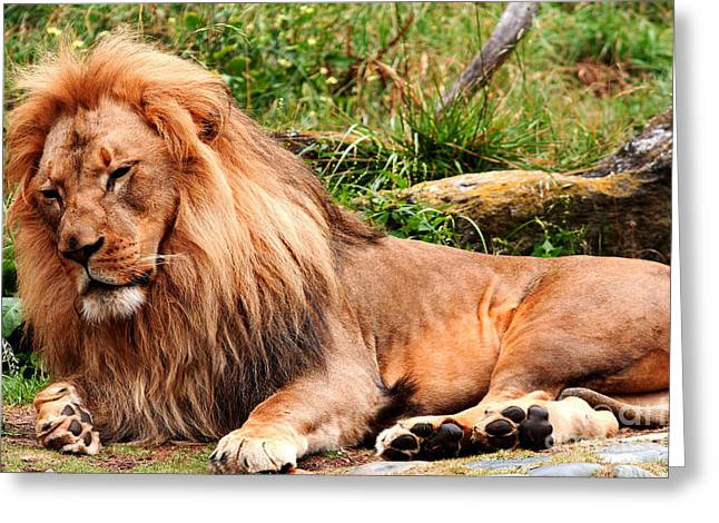 The Ancient Lion Greeting Card by Wingsdomain Art and Photography