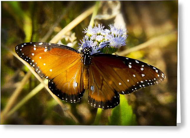 Queen Butterfly Greeting Cards - The Beauty of the Queen  Greeting Card by Saija  Lehtonen