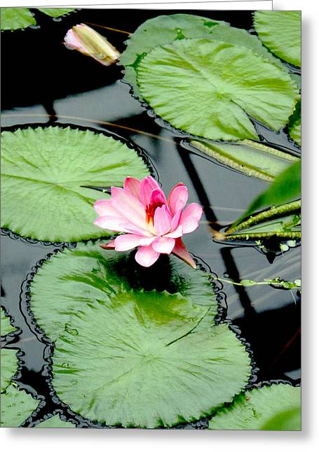 The Beauty Of Water Lily Greeting Card by Jasna Buncic