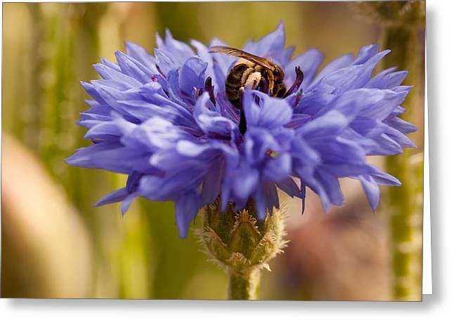 Beekeeping Greeting Cards - The Bee And The Cornflower Greeting Card by Marc Garrido