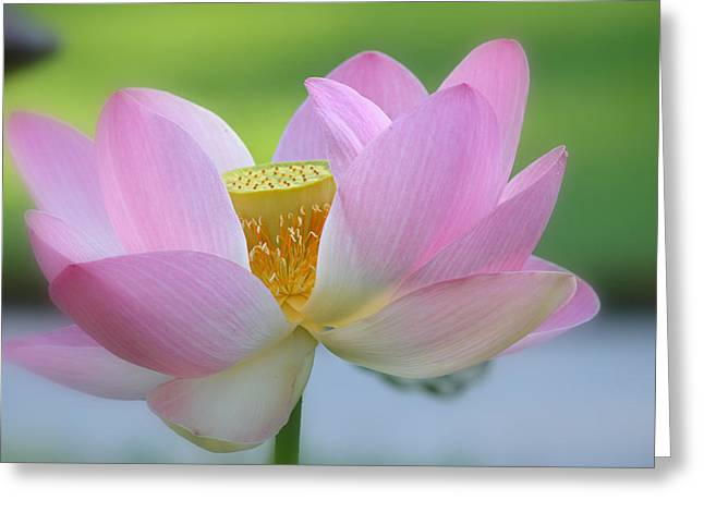 Pink Lotus Greeting Cards - The Big Reveal Greeting Card by Fraida Gutovich
