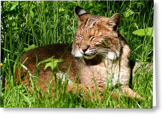The Bobcat's Afternoon Nap Greeting Card by Laurel Talabere