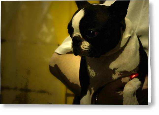 The Boston Bull Terrier  Greeting Card by Steven  Digman