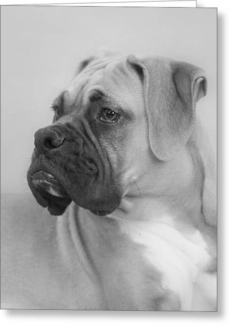 White Dog Greeting Cards - The Boxer Dog - the Gentleman amongst dogs Greeting Card by Christine Till