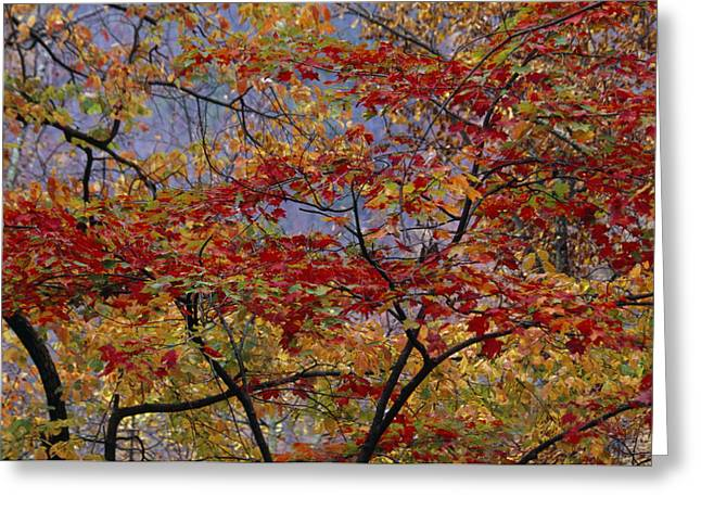 Red Maple Tree Branches Greeting Cards - The Branches Of Red Maple Tree Weave Greeting Card by Raymond Gehman