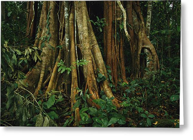 Strangler Fig Greeting Cards - The Buttressed Roots On A Strangler Fig Greeting Card by Steve Winter
