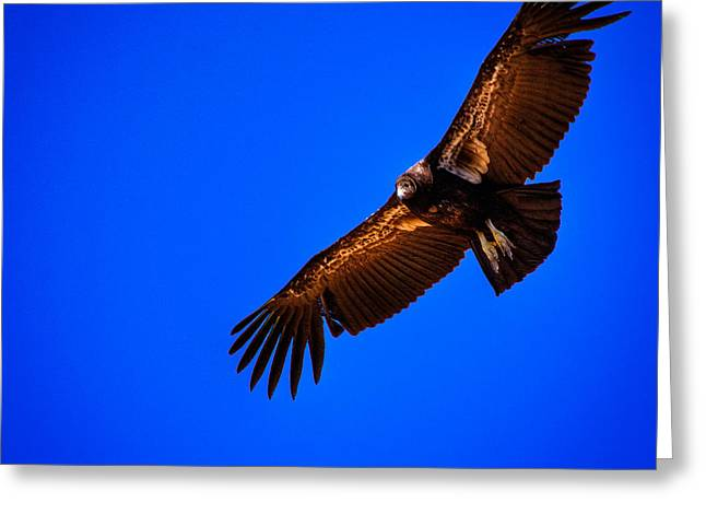 Condor Greeting Cards - The California Condor Greeting Card by David Patterson