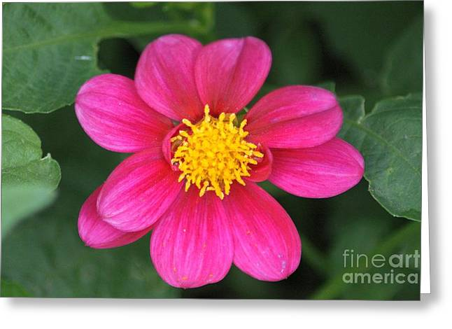 Nature Greeting Cards - The Colors of the Dahlia Flower Greeting Card by Mrsroadrunner Photography