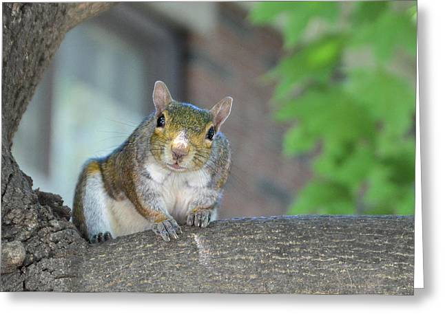 Best Sellers -  - Sciurus Carolinensis Greeting Cards - The Curious Greeting Card by Marian Dragiev