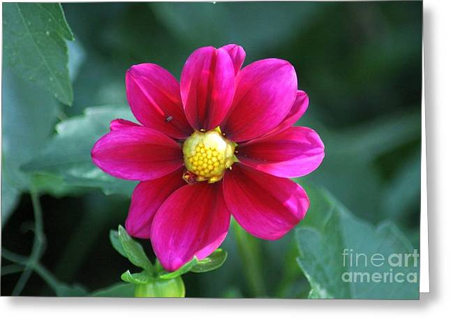 Nature Greeting Cards - The Dahlia Flower Greeting Card by Mrsroadrunner Photography