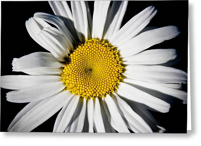 The Daisy Greeting Card by David Patterson